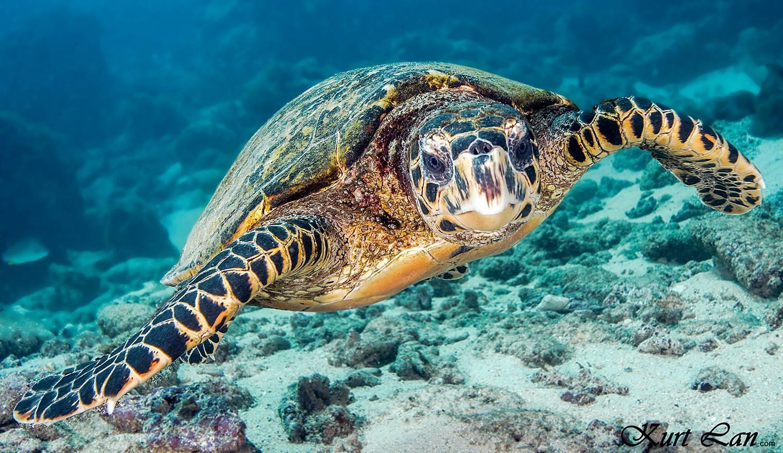 Underwater tortoise, Mauritius
